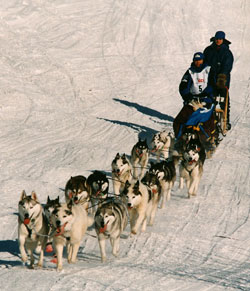 sled dog team of Siberian Huskies